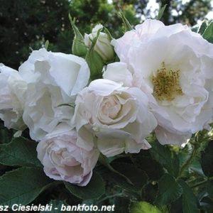 Rosa rugosa Ritausma