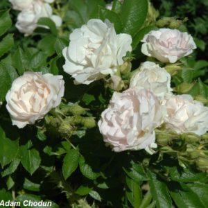 Rosa-rugosa-Ritausma2