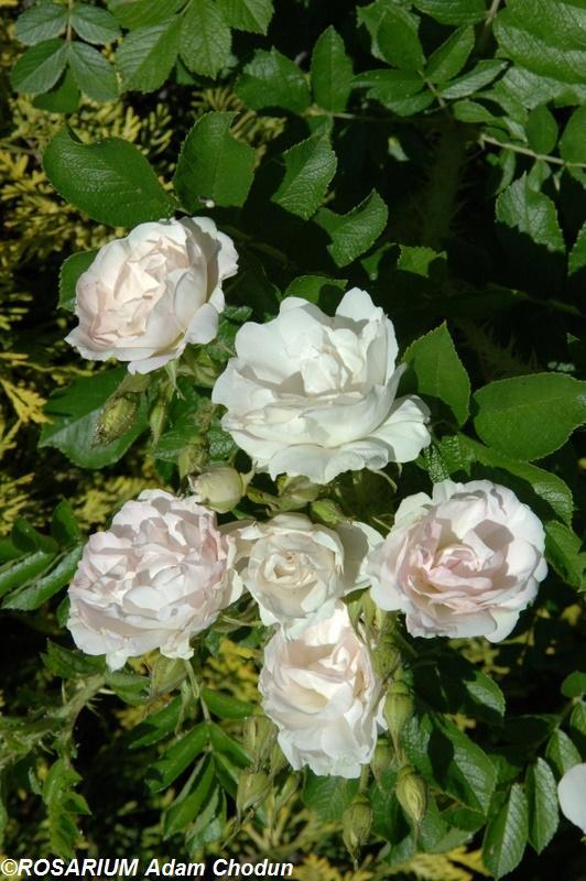 Rosa-rugosa-Ritausma3