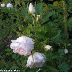 Rosa rugosa Ritausma4