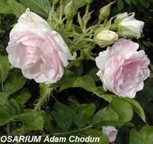 Rosa-rugosa-Ritausma5