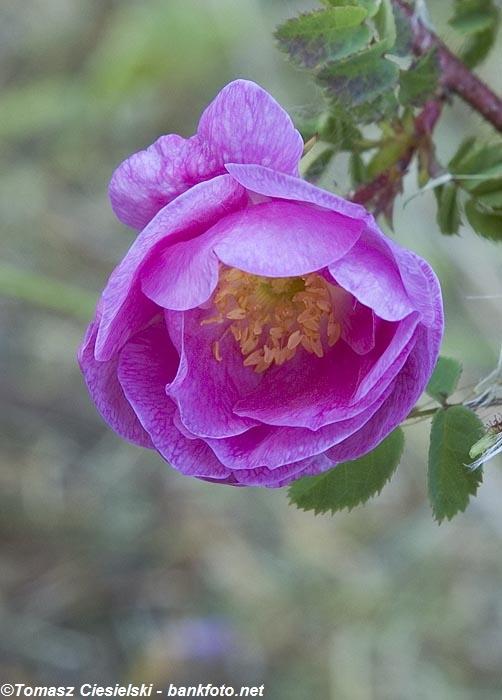 Rosa-x-poppius3