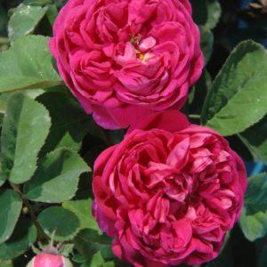 Rose-de-Resht2