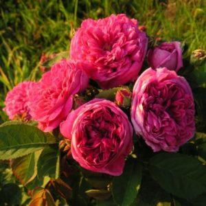 Rose de Resht4