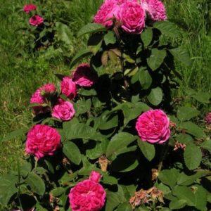 Rose de Resht5