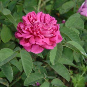 Rose-de-Resht6