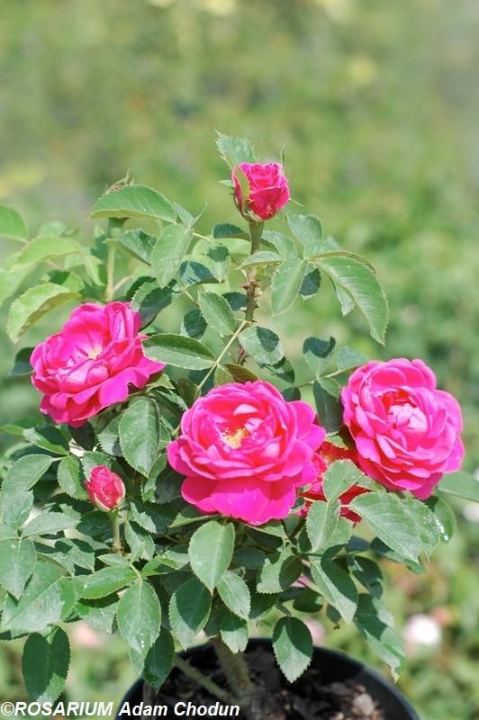 Rose-de-Resht8