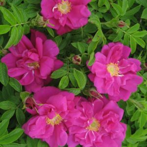 Rosa rugosa 'Scarlet Pavement'®