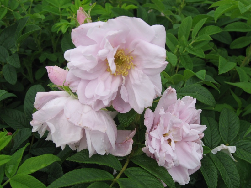 Rosa rugosa 'Snow Pavement'®