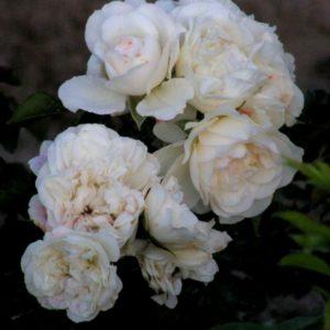 White-Rose2