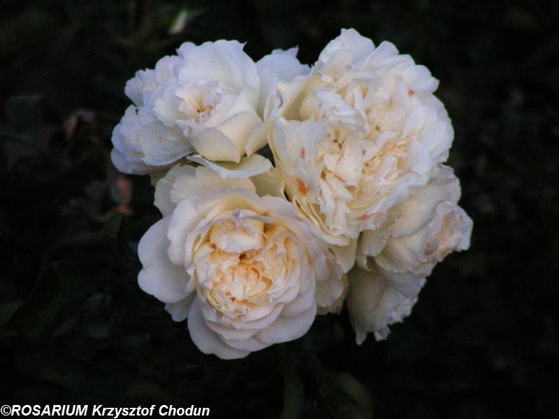White-Rose3