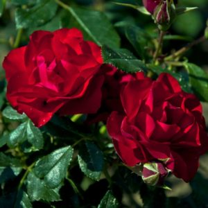 black-forest-rose1