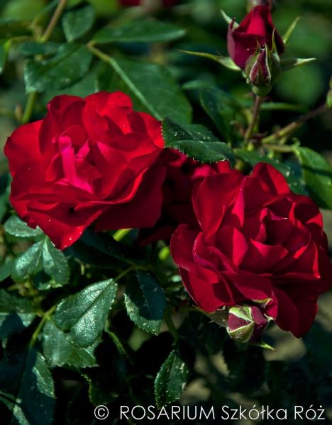 black-forest-rose1