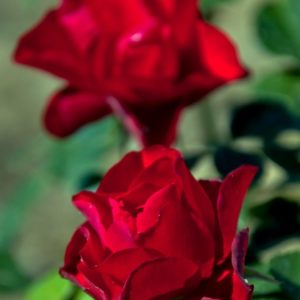 black-forest-rose2