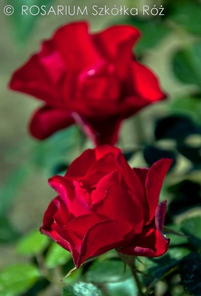 black-forest-rose2