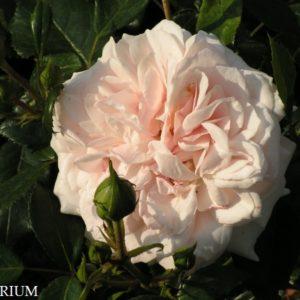 garden-of-roses1