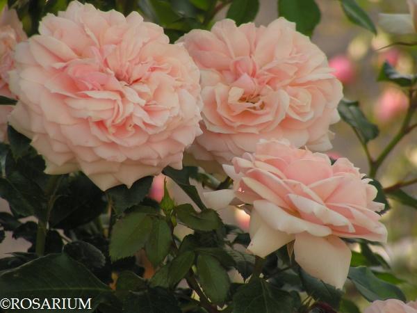 garden-of-roses3