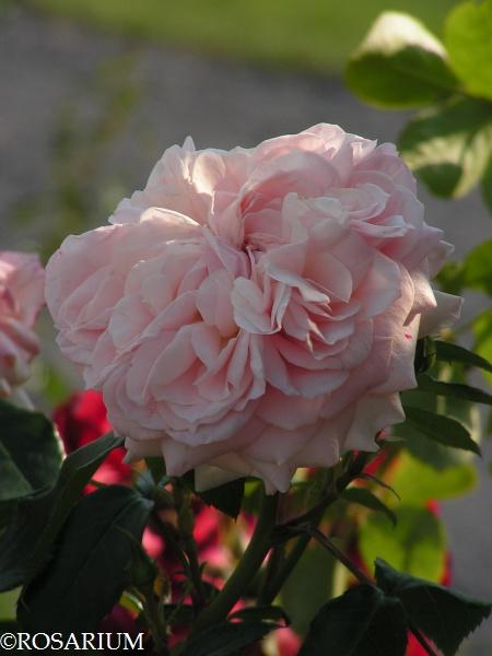 garden-of-roses4