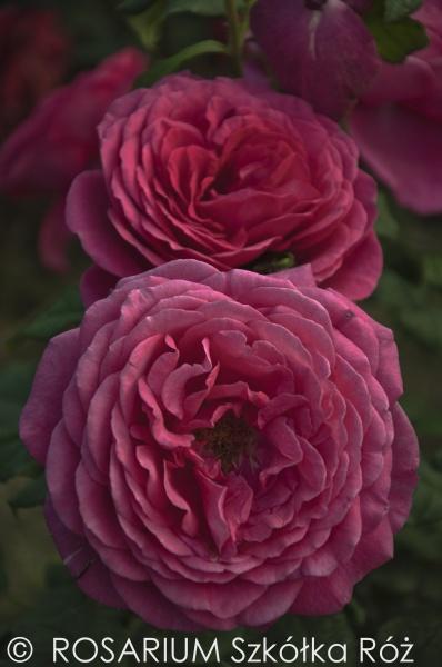 goethe-rose1