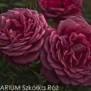 goethe-rose2