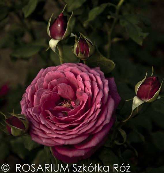 goethe-rose3