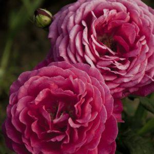 goethe-rose4