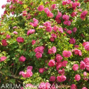 Róże kanadyjskie