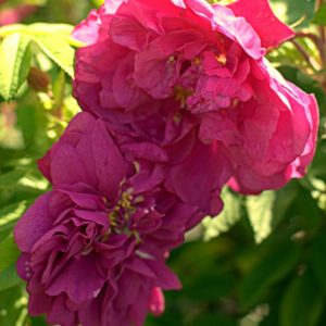 Rosa rugosa 'Kaiserin des Nordens'