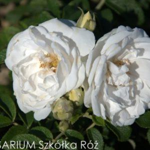 Rosa rugosa 'Kórnik'