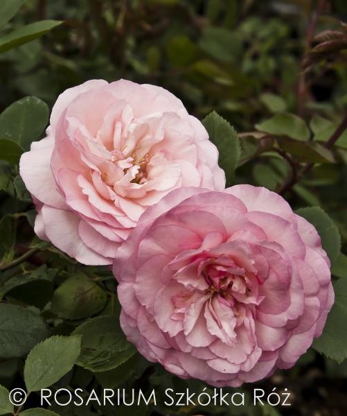 mini-eden-rose2