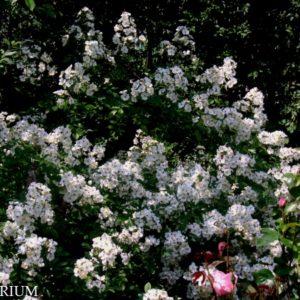 multiflora2