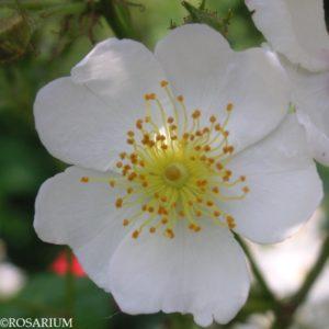 multiflora3