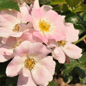 pink-bassino1