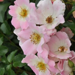 pink-bassino2
