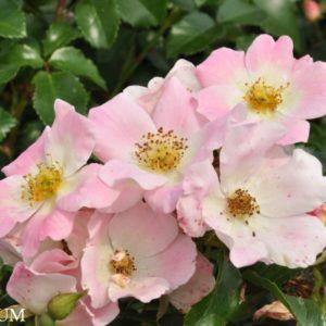 pink-bassino3