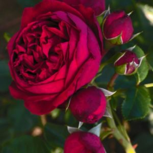 red-leonardo-da-vinci1