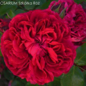 red-leonardo-da-vinci2