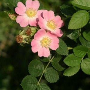 'Rosa rubiginosa'