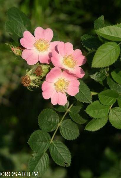 rosa-rubiginosa1