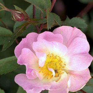 Rosa rubrifolia 'Nova'