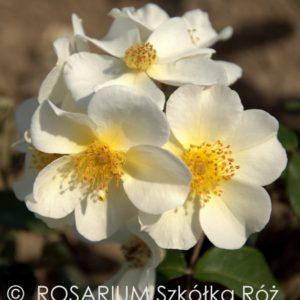 rosalita2