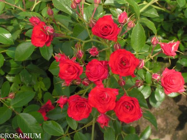 scarlet-meidiland2