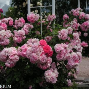 uetersens-rosenprinzessin1