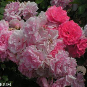 uetersens-rosenprinzessin2