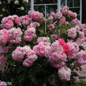 uetersens-rosenprinzessin3