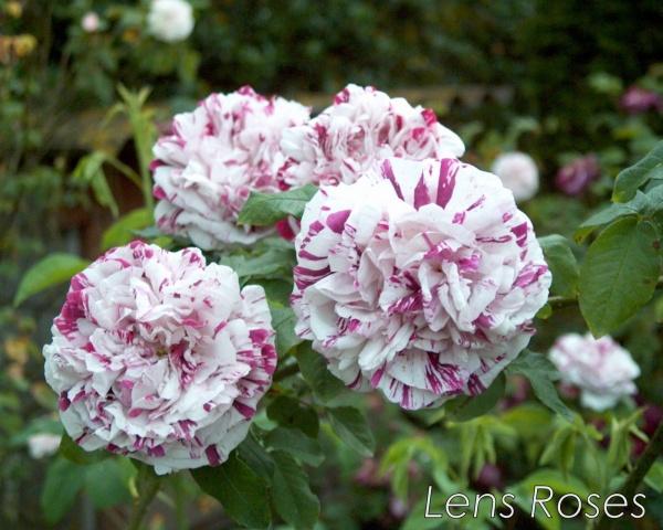 variegata-di-bologna1