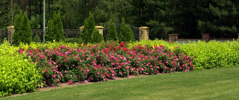 Rosa-gallica-Officinalis-na-pierwszym-planie-Gefylt-oraz-Physocarpus-opulifolius-Luteus.jpg