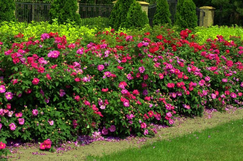 Rosa-gallica-Officinalis-na-pierwszym-planie-za-nią-Gefylt.jpg