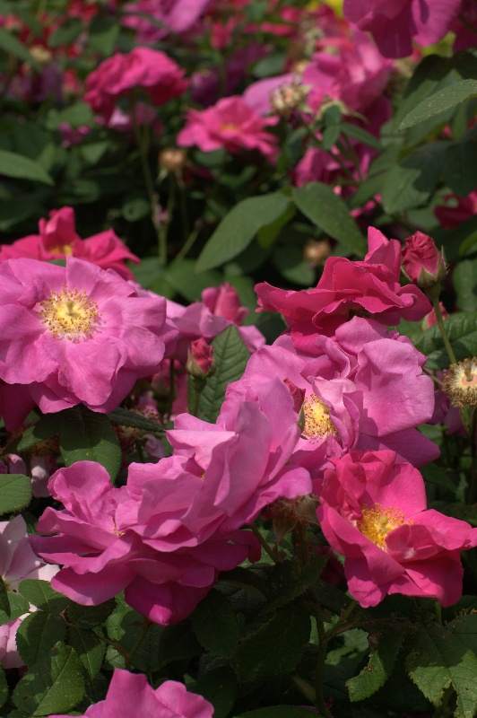 Rosa-gallica-Officinalis.jpg