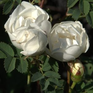 Rosa Spinosissima var Altaica